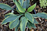 'Picasso' Hosta Courtesy of Naylor Creek