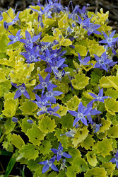 Campanula 'Dickson's Gold' Courtesy of Walters Gardens
