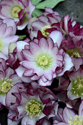Helleborus 'Blushing Bridesmaid' Courtesy of Walters Gardens