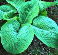 'Blarney Stone' Hosta Courtesy of Rick Goodenough