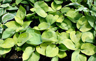 Cup of Joy Hosta - 4.5 Inch Container (NEW For 2017!)