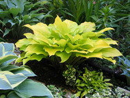 Hosta 'Enduring Beacon' Courtesy of Don Dean