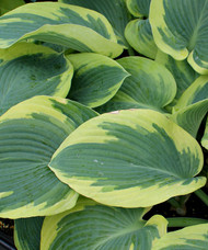 'Goldbrook Glory' Hosta From NH Hostas