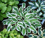 Lakeside Dimpled Darling Hosta - 4.5 Inch Container