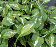 Snake Eyes Hosta - 4.5 Inch Container