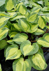 Volcano Island PP24008 Hosta - 4.5 Inch Container