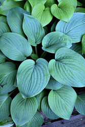 Hosta 'Blue Perfection' Courtesy of Green Hill Farm