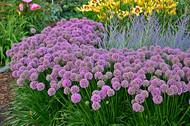 Allium 'Millenium' Courtesy of Walters Gardens
