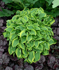 'Wrinkle in Time' Hosta Courtesy of Walters Gardens