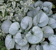 Brunnera 'Looking Glass' Courtesy of Walters Gardens