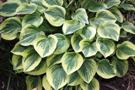 'Cameo' Hosta Courtesy of Walters Gardens
