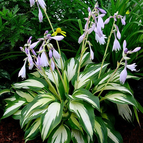 Christmas Candy Hosta - 4.5 Inch Container - New Hampshire Hostas