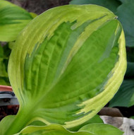 Captain's Adventure Hosta - 4.5 Inch Container