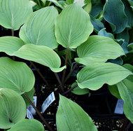 Chopsticks Hosta - 4.5 Inch Container