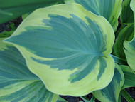'Endearing Endeavor' Hosta Courtesy of Don Dean
