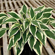 'Hidden Treasure' Hosta Courtesy of Q&Z Nursery