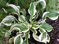 Let's Twist Again Hosta - 4.5 Inch Container