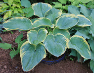 'Paradise Expectations' Hosta Courtesy of Kathie Sisson