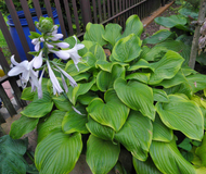 'Paradise Sunshine' Hosta Courtesy of Naylor Creek