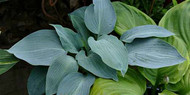 'Valley's Blue Curacao' Hosta Courtesy of Naylor Creek