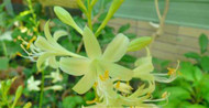 'Miracle Lemony' Hosta Courtesy of Naylor Creek