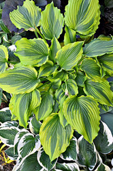 Hosta 'One Last Dance' Courtesy of Walters Garden