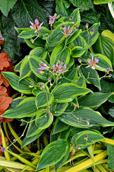 Tricyrtis 'Autumn Glow' Courtesy of Walters Gardens
