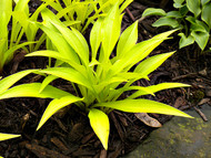 Munchkin Fire Hosta - 3 Inch Container (NEW For 2017!)