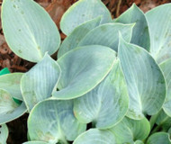 'Blue Moon' Hosta