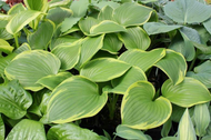 'Light Ray' Hosta Courtesy of Green Hill Farm
