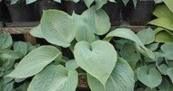 'Bedford Blue' Hosta Courtesy of Naylor Creek