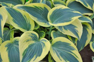 'Ben Vernooij' Hosta Courtesy of Naylor Creek
