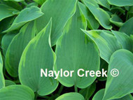 'Olympic Twilight' Hosta Courtesy of Naylor Creek