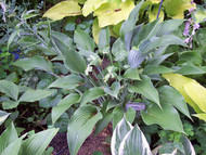 'Phoenix' Hosta From NH Hostas