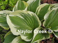 'Broadway' Hosta Courtesy of Naylor Creek