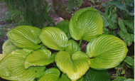 'Fran Godfrey' Hosta