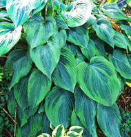 'Devil's Advocate' Hosta Courtesy of Walters Gardens