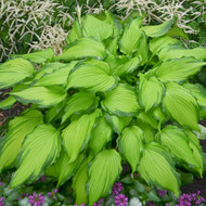 'First Dance' Hosta Courtesy of Walters Gardens