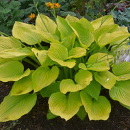 Hosta 'Age of Gold' Courtesy of Walters Gardens