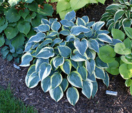 First Frost Hosta - 4.5 Inch Container