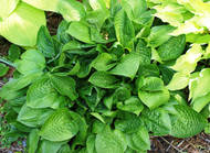 Quilting Bee Hosta - 3 Inch Container