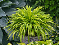 Curly Fries Hosta - 3 Inch Container