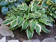 Ginsu Knife Hosta - 4.5 Inch Container