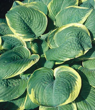 'Parasol' Hosta Courtesy of Shady Oaks Nursery
