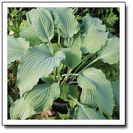 'Venetian Star' Hosta Courtesy of Q&Z Nursery
