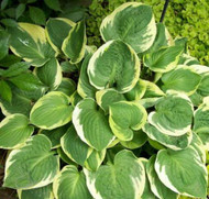 'Moon River' Hosta From NH Hostas