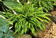 'Chartreuse Wiggles' Hosta
