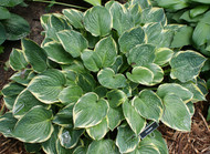 Crusader Hosta - 4.5 Inch Container