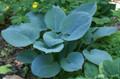 'Blue Hawaii' Hosta From NH Hostas