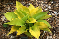 Lakeside Contender Hosta - 4.5 Inch Container